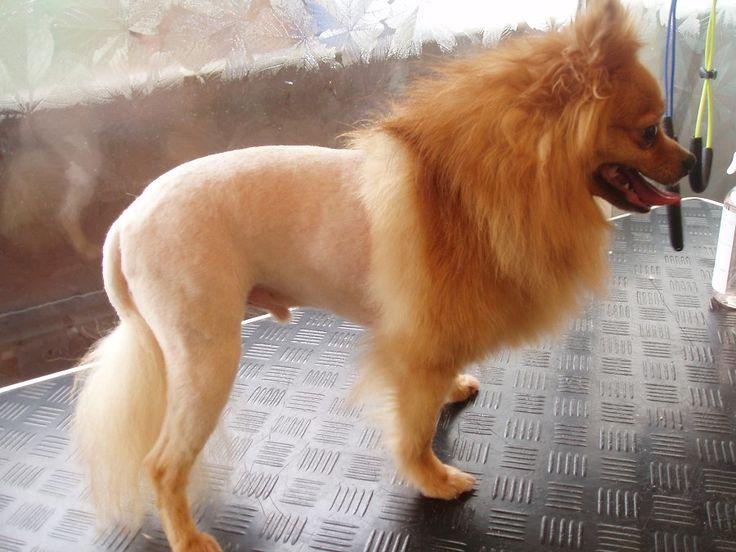 Pomeranian Lion Cut | Dog Grooming | Pinterest | Parlour ...White Pomeranian Lion Cut