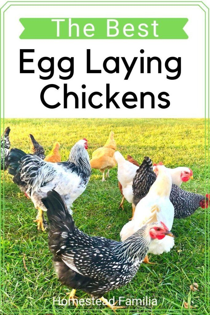 Best Egg Laying Chickens | Laying chickens, Best egg ...