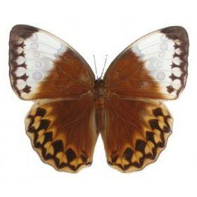 Vlinders :: Stichophthalmus louisa siamensis
