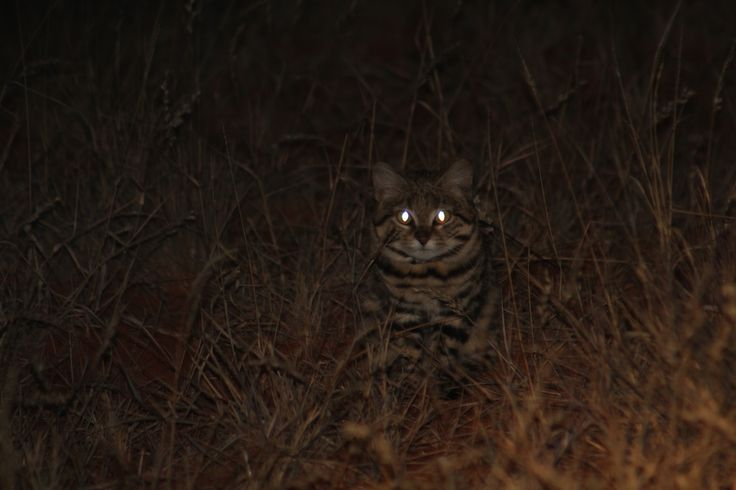 The rare black footed cat in Benfontein nature reserve near Kimberley