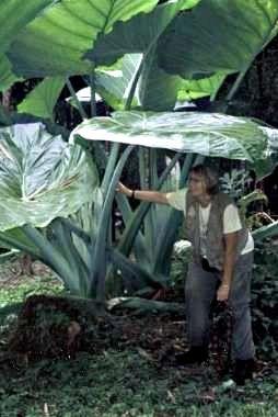 29 Best Fl Elephant Ears And Large Leaf Plants Images On Pinterest Elephant Ears Large Leaf