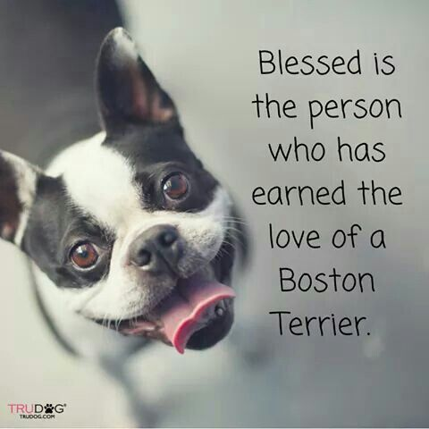 Boston Terrier                                                                                                                                                      More