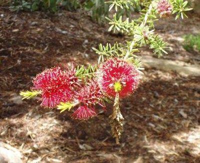 Kunzea baxteri • Australian Native Plants • Plants • 800.701.6517