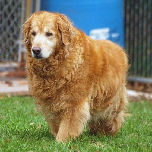 71 Best Adoptable Goldens Images On Pinterest Golden Retrievers Red Golden Retrievers And