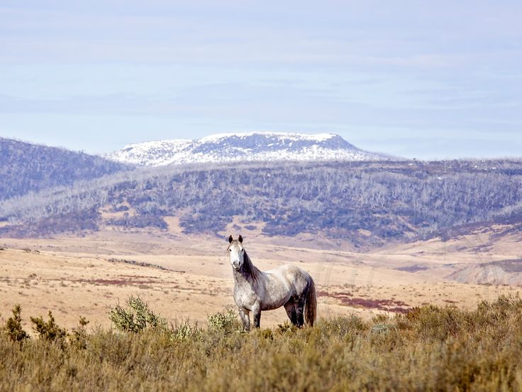Silver brumby with Table top mountain in the background. Carol Hancock Photography http://www.carolhancock.com.au