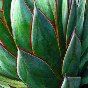 16 Gorgeous Agave Plants - Sunset Mobile