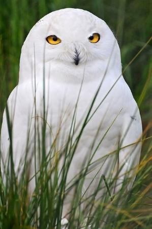 Snowy owl by GPriest                                                                                                                                                      More