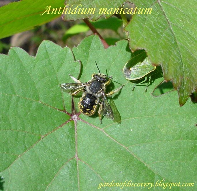 Garden of Discovery: European Wool Carder Bee (Anthidium manicatum)