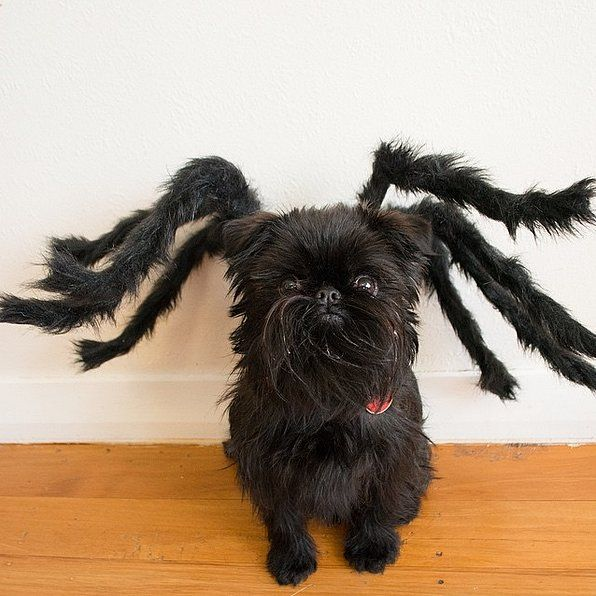 The 25+ best Spider costume for dogs ideas on Pinterest ...