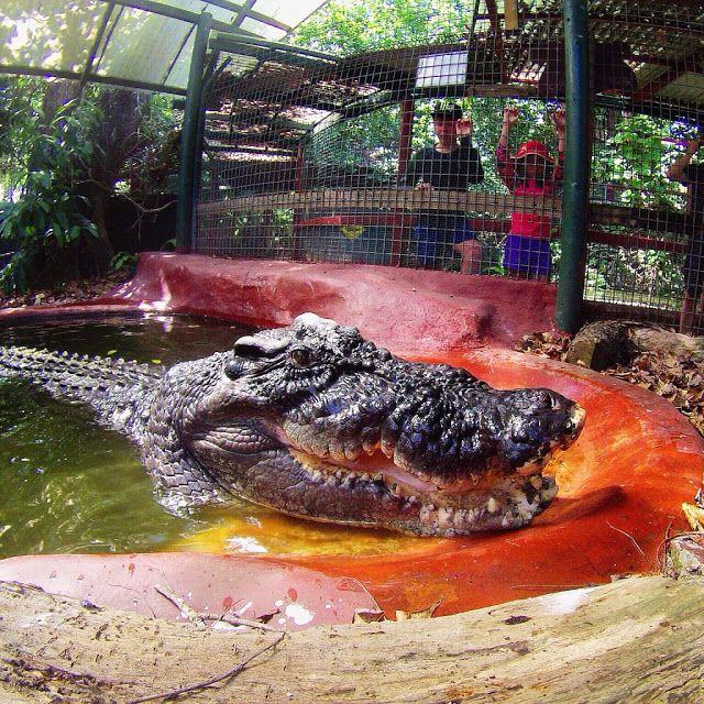 Cassius é o maior crocodilo de água salgada do mundo em cativeiro.