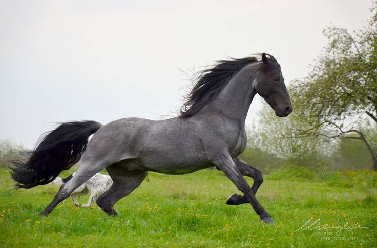 How is this horse so gorgeous oh my goodness I have never seen such a beautiful blue roan.!!