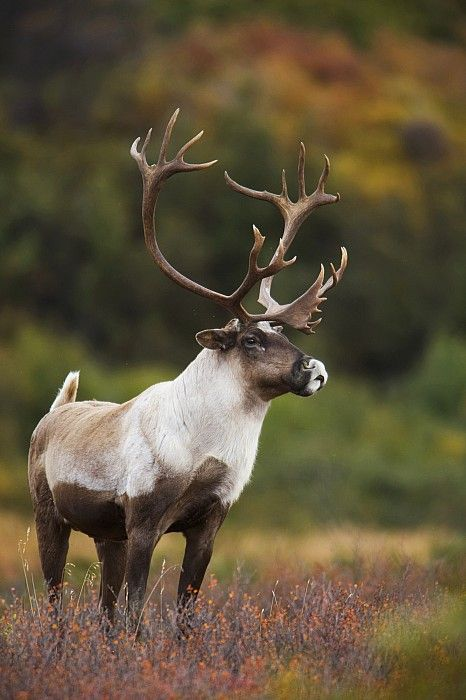 Bull Caribou - Animal -> Por: Angel Catalán Rocher! CLICK -> pinterest.com/AngelCatalan20/boards/ <- Sígueme!
