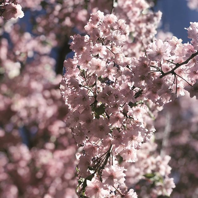 Cherry Blossom Season Is Here How Spectacular Are The Cherry Blossoms Today Is The Last Day To Go Cherry Blossom Festival Garden History Flower Festival