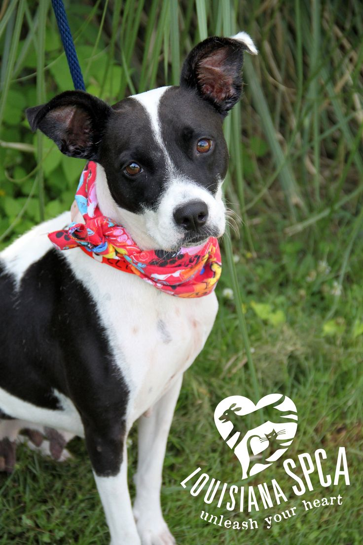 Adopt Jamaica And Bring The Caribbean To You! Jamaica Is A 2 Year Old  Terrier