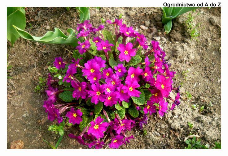 Ogrodnictwo od A do Z: Pierwiosnki- kilka uwag o rodzaju,gatunkach, upraw...