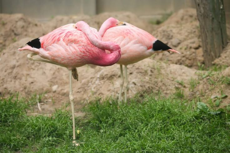 Mystery solved: How flamingos can sleep while standing on one leg - The Washington Post