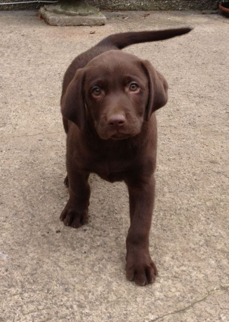 Images For > Black And Brown Lab Puppies | Chocolate Lab ...