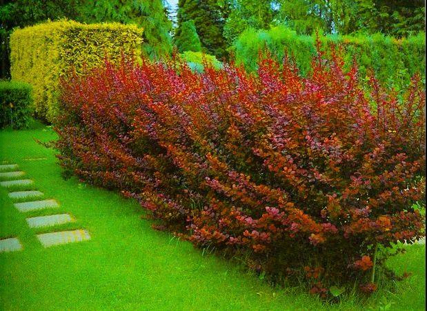Не формируемая изгородь из барбариса