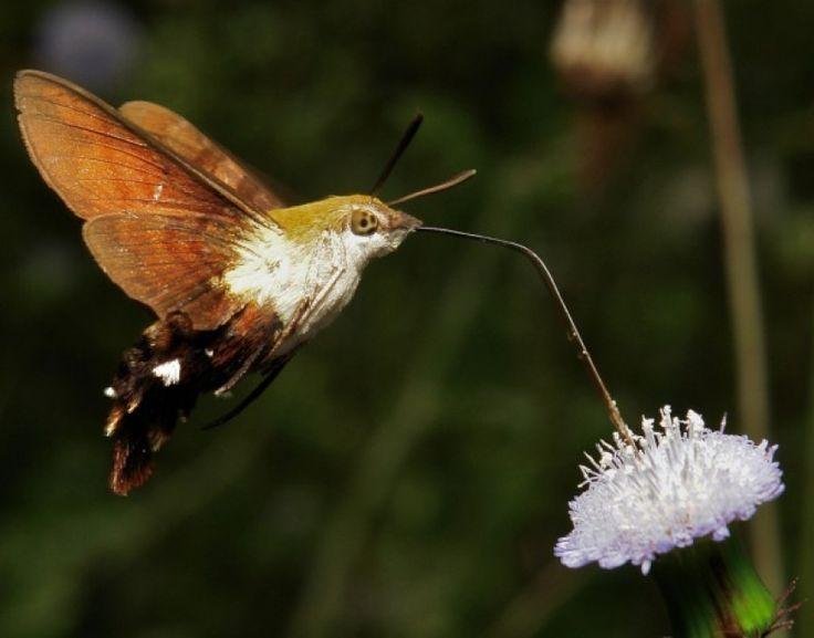 Sinekkuşu Atmaca Güvesi: Bu güve de uzun hortumuyla çiçeklerden beslenir ve aynı bir sinekkuşu gibi uğultulu sesler çıkarır. Kelebek gibi hayata tırtıl olarak başlar ve göz alıcı renklere sahiptir.
