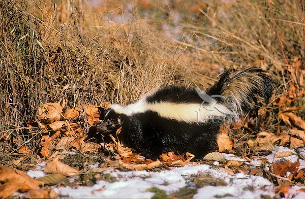 Striped Skunk in big-leaf maple leaves and late autumn snow. Will den up for winter. Pacific Coast, British Columbia. Canada..(Mephitis mephitis). Photo Credit:Thomas Kitchin & Victoria Hurst/leesonphoto