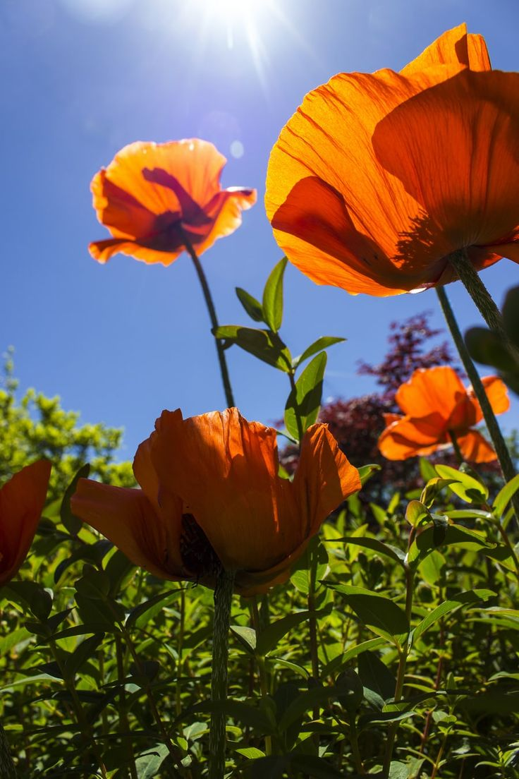 500+ Poppies Pictures [HD] Download Free Images on