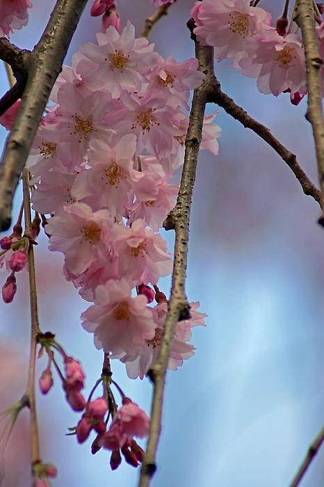Pretty pink weeping cherry blossoms against blue sky.