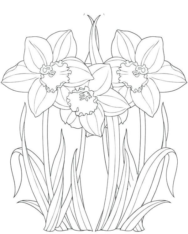 Artistic Free Daffodil Coloring Pages Daffodils Daffodil Color