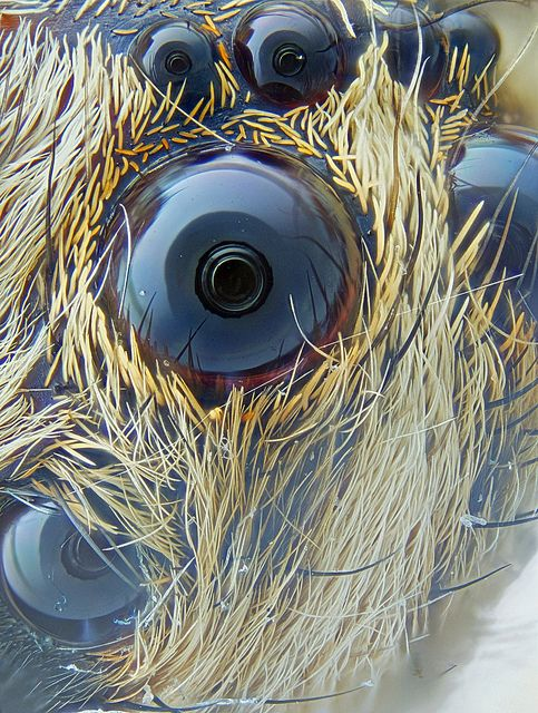 Focus stacked spider eye, taken with objective microscope.