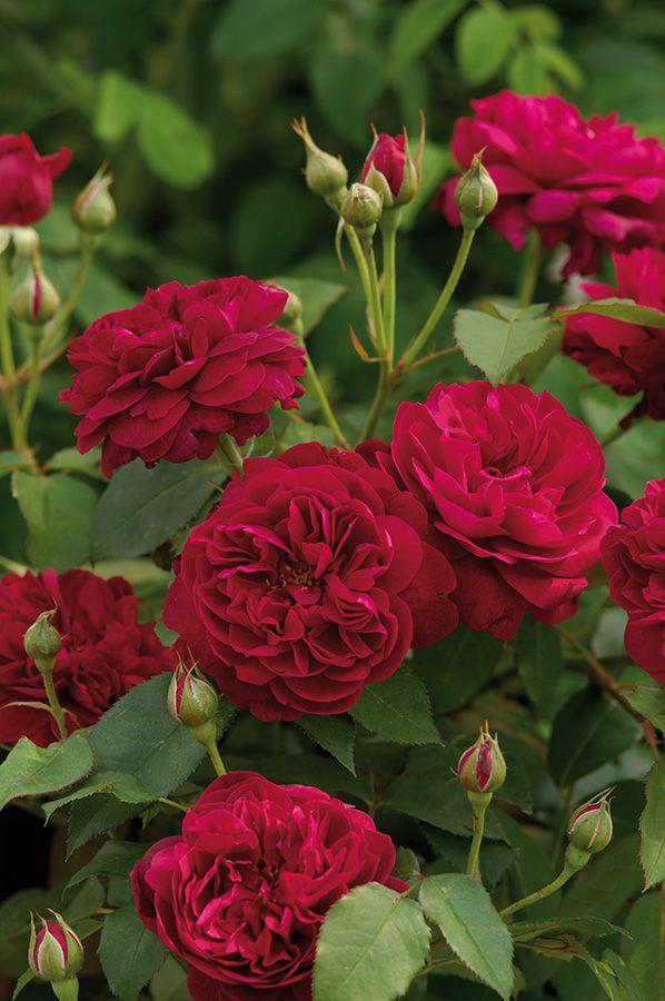 Rosa 'Darcey Bussell' | Zon IV. Enligt Austin en av de bästa och friskaste, röda rosor han har tagit fram. Blommorna är inte av den största storleken, men är otroligt rikblommande och blomningen nästan kontinuerlig. I sitt första stadium bildar blommans kronblad en yttre ring, för att senare utvecklas till att bli vackert rosettformade. Färgen är djupt och fylligt karminröd. Doften är mediumstark, behaglig och fruktig. Uppkallad efter den berömda brittiska ballerinan Darcey Bussell.