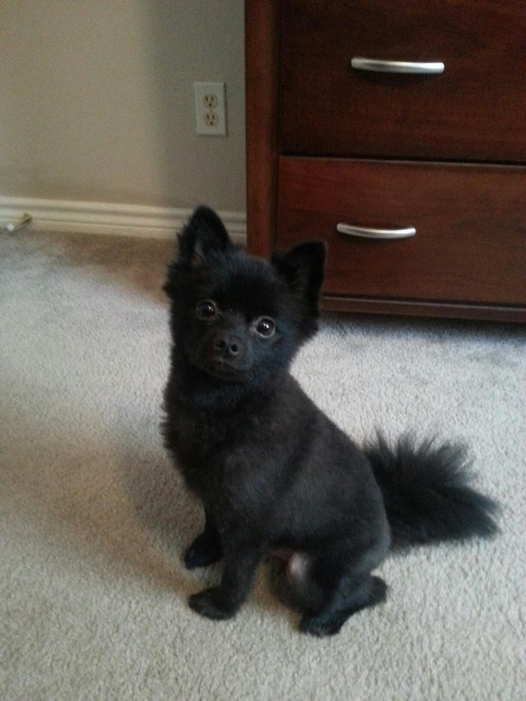 25  best ideas about black pomeranian on pinterest
