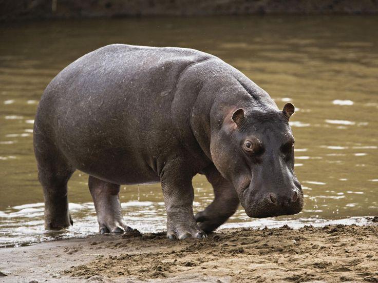 papel de parede Hipopótamo