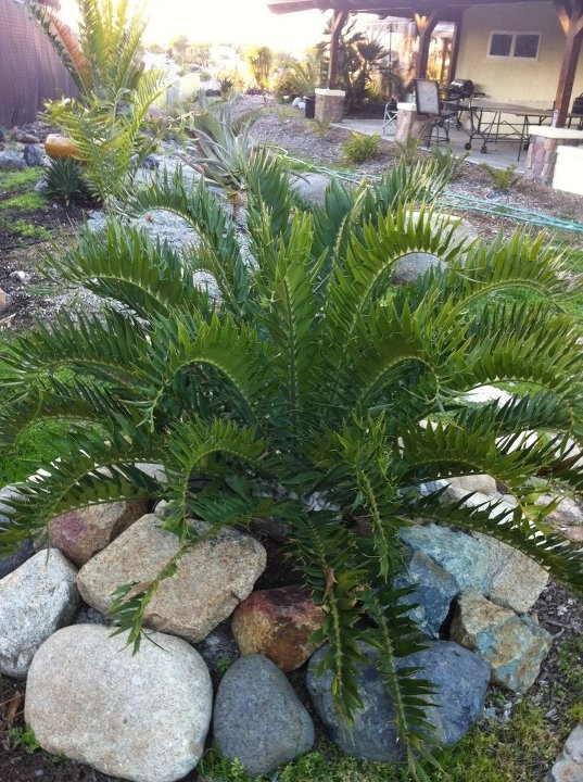 17 best images about cycads ancient plants on pinterest for Cycas landscape design
