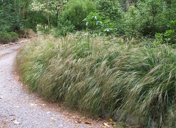 The feathery New Zealand cascading grass Anemanthele lessoniana is very light…