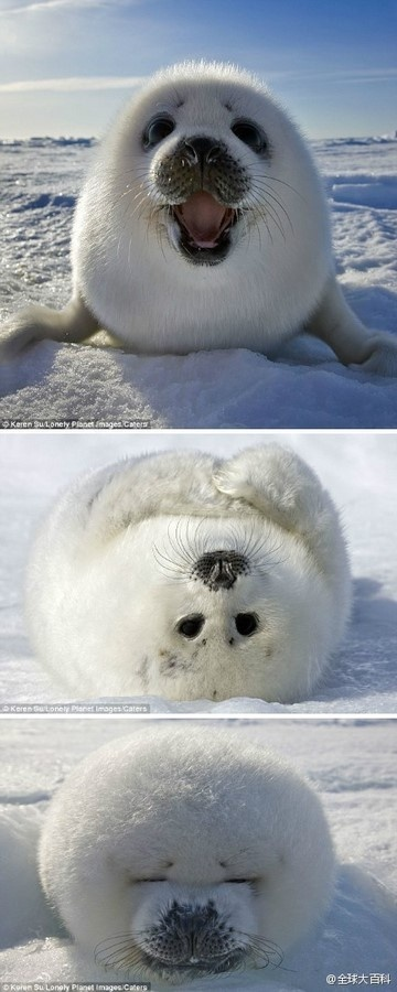 。: Seals, Cuteness, Animals, It S, Sweet, Pets, Adorable, Things, Baby Seal