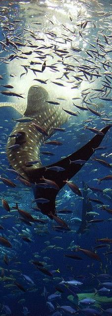 Whale sharks lurk under the sea...