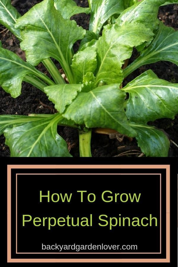 Growing Perpetual Spinach For Year Round Greens Growing Spinach Gardening For Beginners Gardening Tips