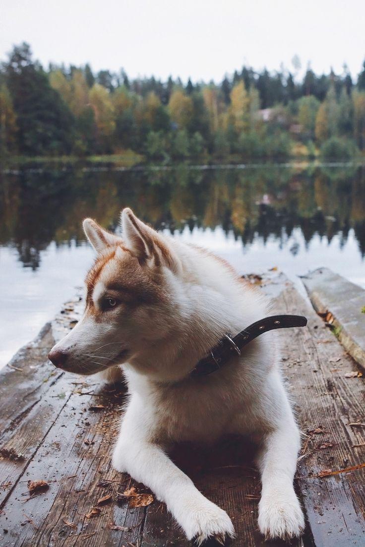 17 Terbaik Ide Tentang Husky Quotes Di Pinterest Ras Anjing Dan