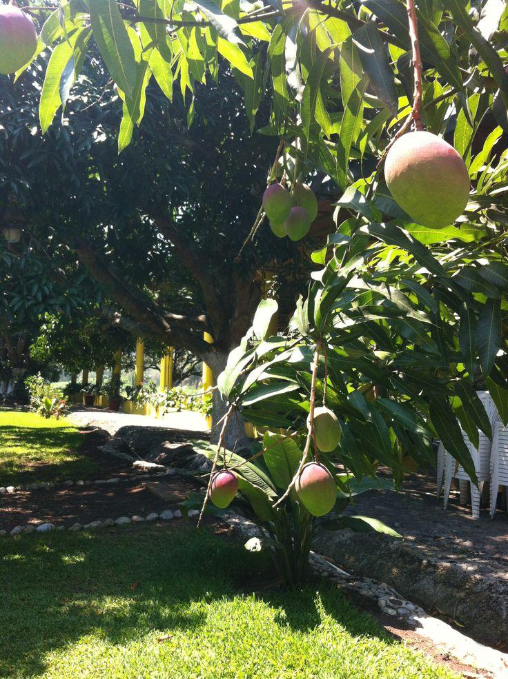 Arboles de mango cargados de fruta!