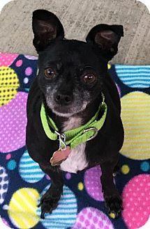 Seal Beach, CA - Chihuahua. Meet Davis, a dog for adoption. http://www.adoptapet.com/pet/17223227-seal-beach-california-chihuahua