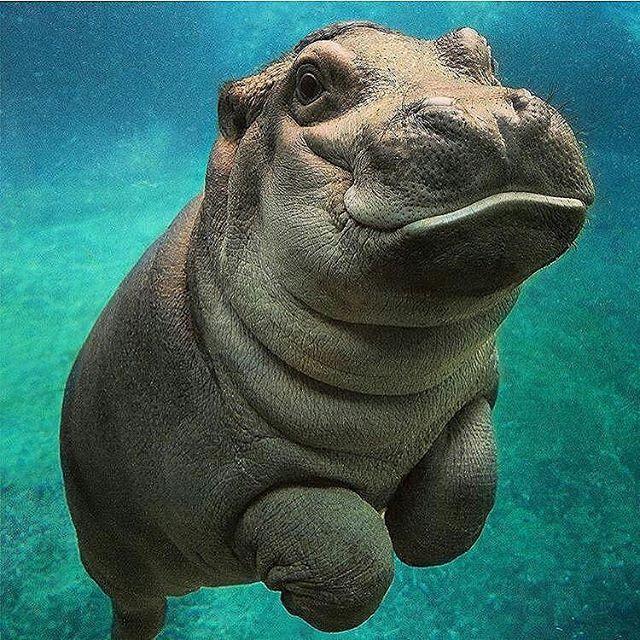 #Repost @aroundtheworldpix  Baby Hippo  #aniPhoto #igersoftheday #igersofny…