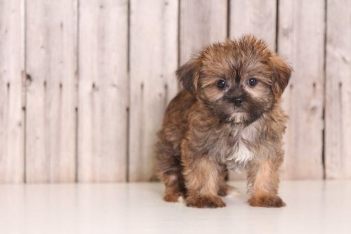 Shorkie Tzu puppy for sale in MOUNT VERNON, OH. ADN-38828 on PuppyFinder.com Gender: Female. Age: 8 Weeks Old