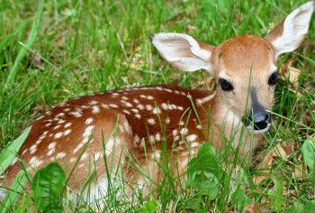 Wildlife like this fawn come out of hiding