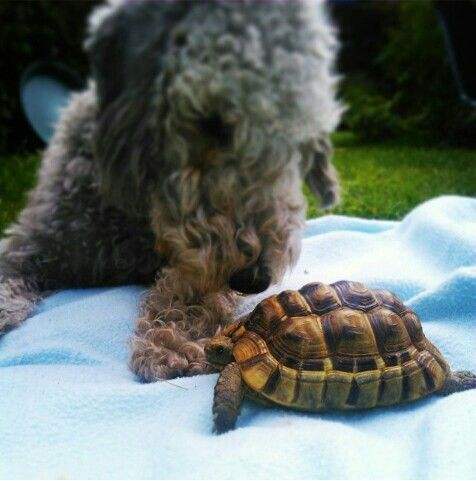 Bedlington Terrior and Tortoise.