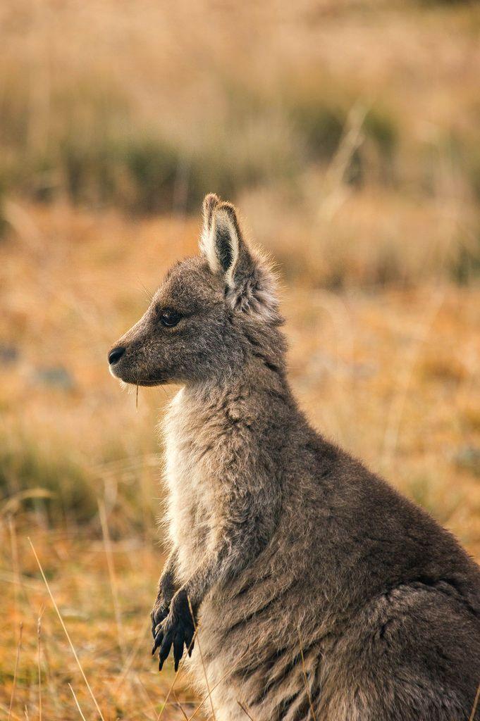 Cute kangaroo joey.