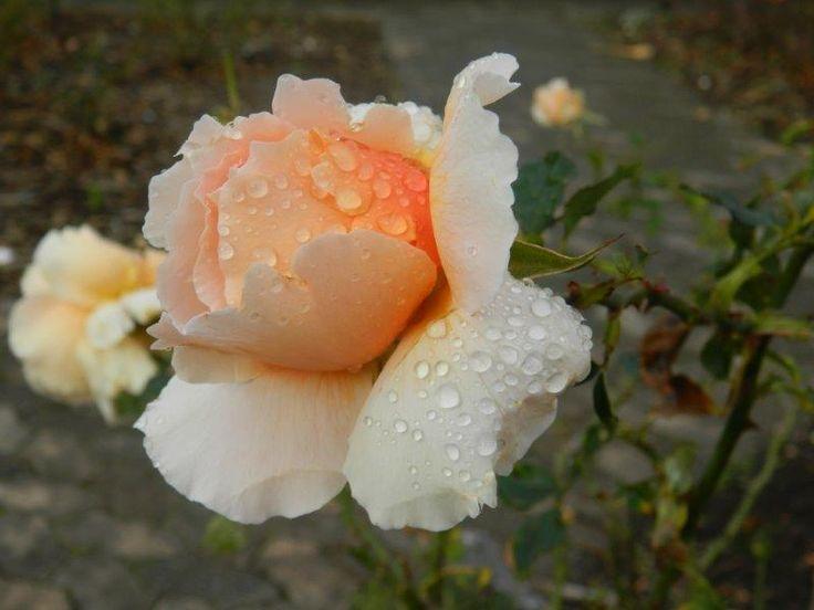 Peach rose - by Daniel Augustyn