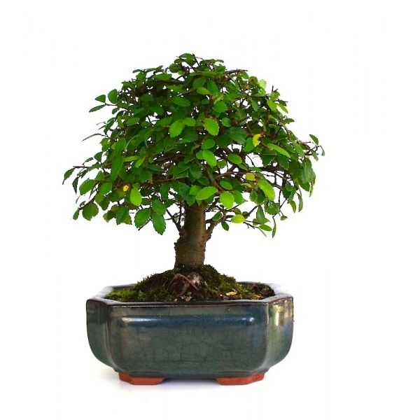 Vente de bonsa orme de chine 25 cm orm140101 sankaly bonsa bonsai pinterest bonsai - Orme de chine bonsai ...