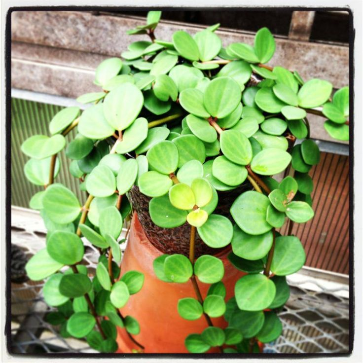 This is Peperomia 'Hope'. It has really thick leaves... such a beautiful trailing plant. www.southeastsucculents.com