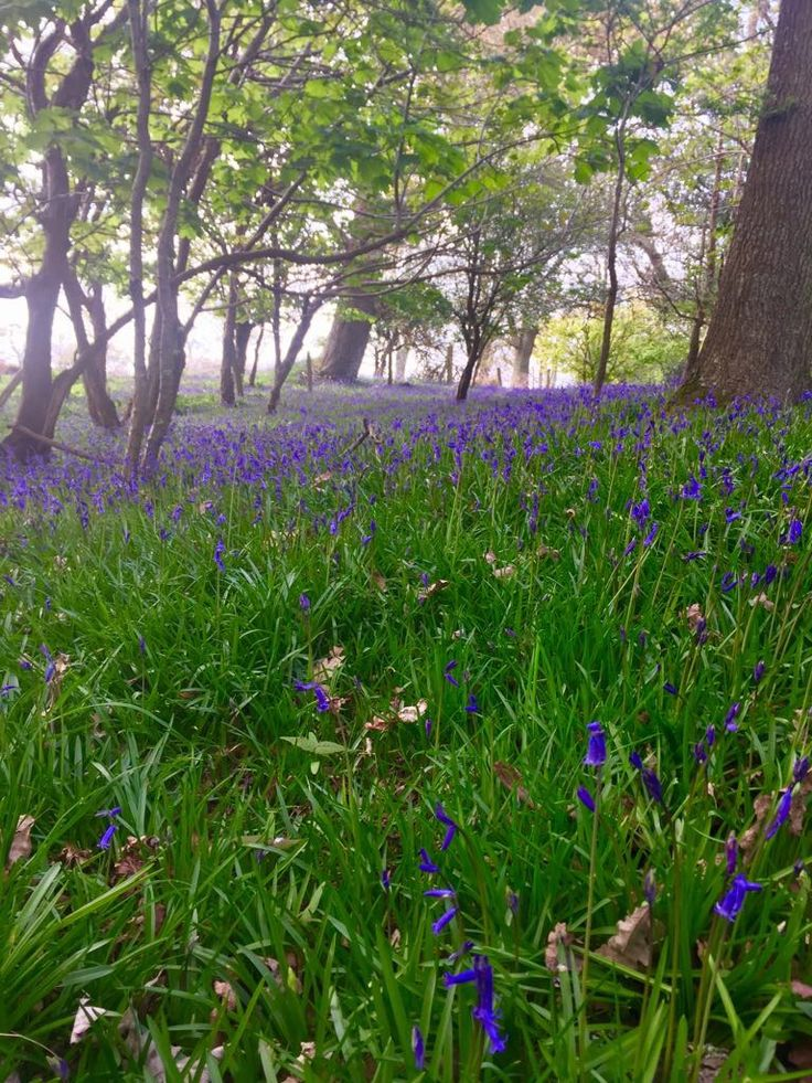 Bluebells New Forest