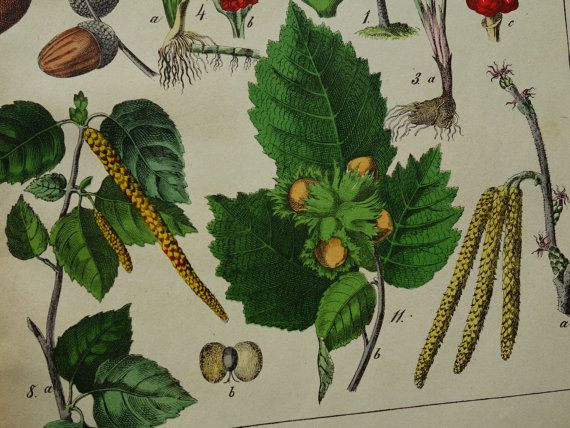 old botany print LARGE 1879 antique botanical by DecorativePrints