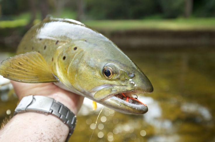 There's some great fish in the Otways. Check out this chunky brown.